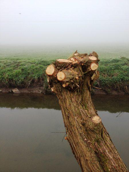 Willow-Pollard-Somerset-Level-Close-up-Cut