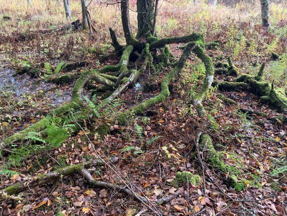 Yellow Birch Roots horizontal